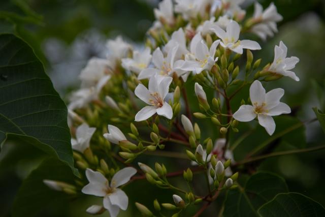 【素材・成分情報】アブラギリの種子(TUNGSEED)